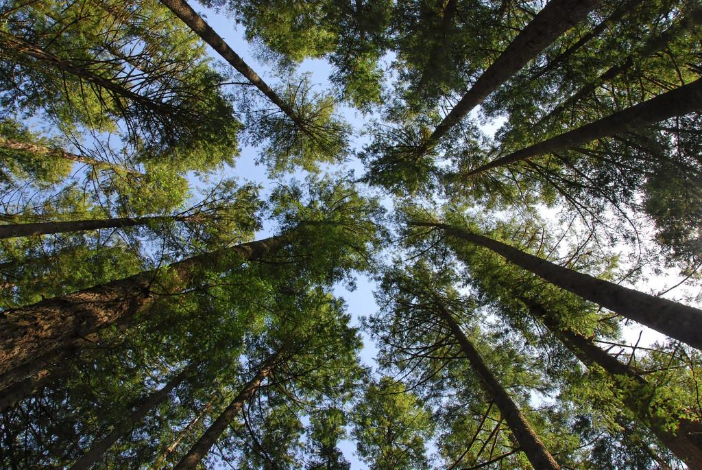 Silver Falls trees