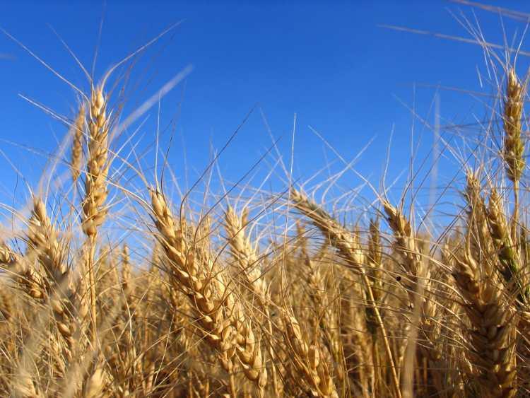 wheat_resized